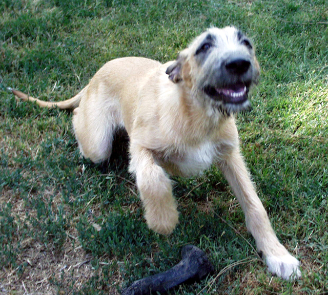Wolfhound smile as he