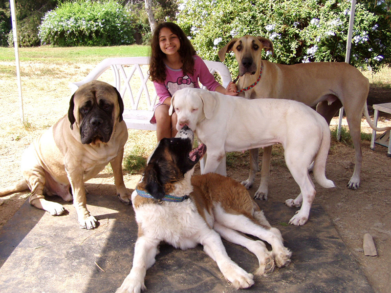 butkis a fawn english mastiff saint bea a saint bernard snow white a