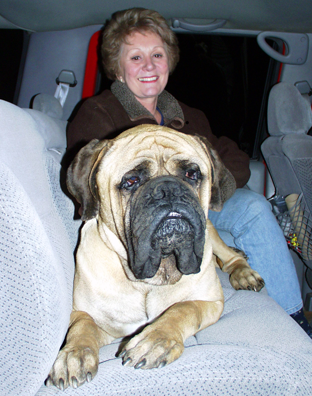 giant english mastiff goes for a ride english mastiffs are rarely this