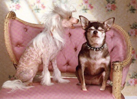 female Chinese Crested tells off a male Chinese Crested