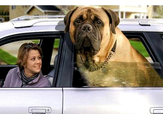 giant english mastiff goes for a ride english mastiffs are rarely this ...