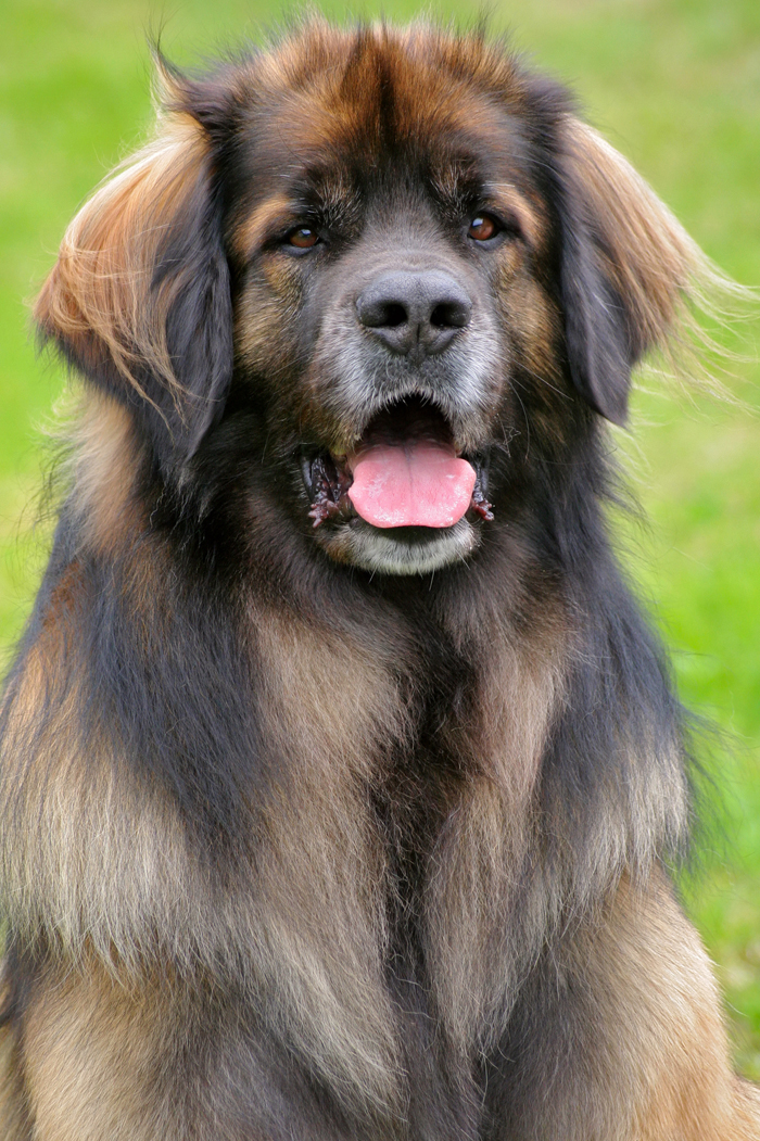 Gentle Giants Rescue and Adoptions - Leonbergers