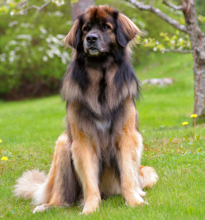 Leonberger - EcuRed
