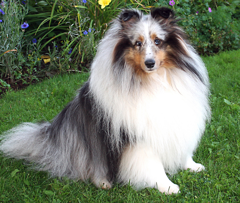 Blue Merle Sheltie